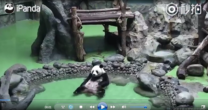 原來熊貓自己洗澡是這樣的