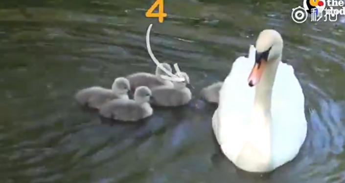 """好妈妈牌""""天鹅船""""出发,超载8只宝宝全速前进"""