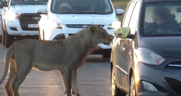 南非母獅試圖用嘴開車門嚇壞遊客(視頻)
