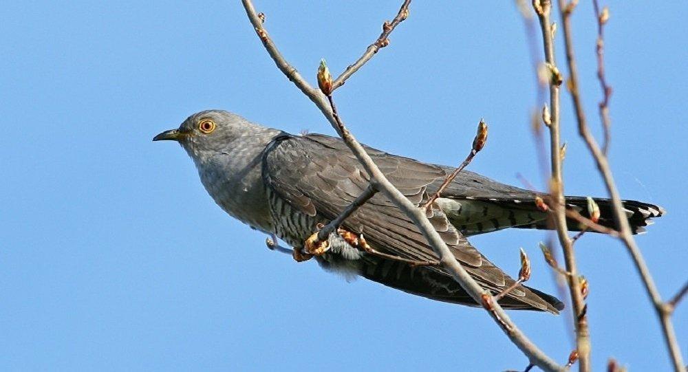 鸟类学家:俄罗斯杜鹃正占领阿拉斯加