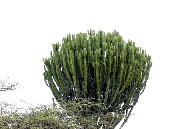法国老妪被摩洛哥巨型多肉植物压死
