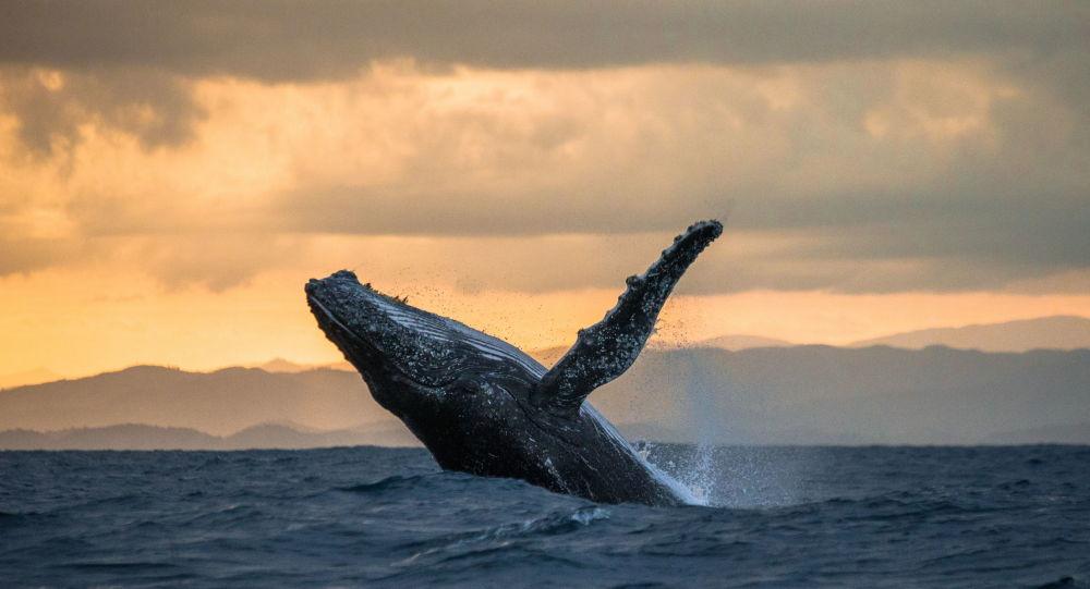巨鯨飛躍漁船:加利福尼亞拍到不可思議的畫面