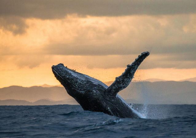 巨鲸飞跃渔船:加利福尼亚拍到不可思议的画面