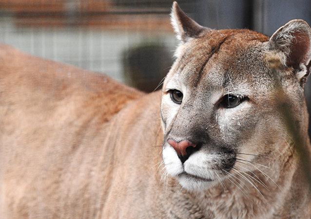 美国的一位跑者勒死了袭击自己的美洲狮