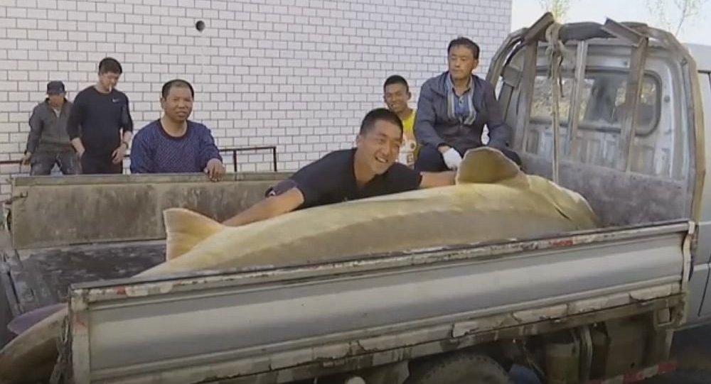 中国渔民在哈巴罗夫斯克附近捕获512公斤重鳇鱼