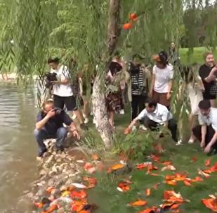 日本师生放生数百条鲤鱼
