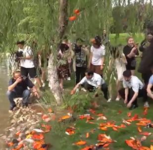 日本師生放生數百條鯉魚