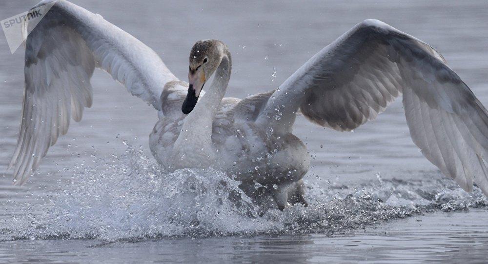 英国愤怒的天鹅不让游客沿运河漂流