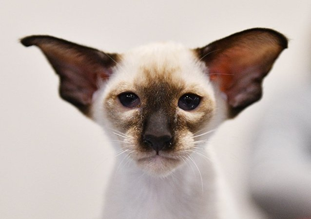一莫斯科居民打死一隻暹羅貓,已追究刑事責任——內務部