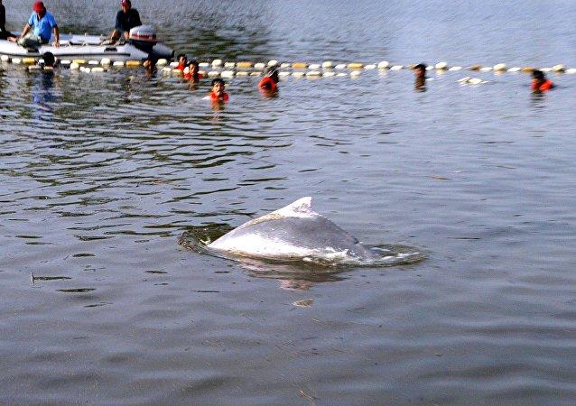 在泰国一只海豚因吞下80个塑料袋死亡