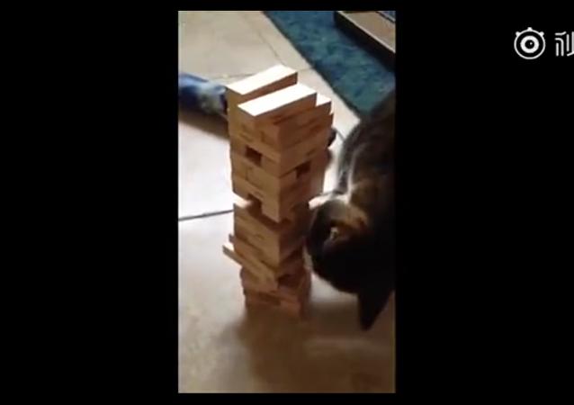 主人跟猫咪玩叠叠乐抽积木的小游戏