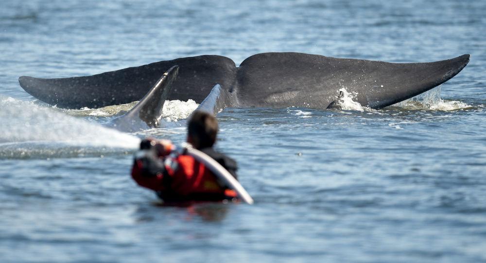 """一头玩橄榄球的白鲸被西方学者认定为""""俄间谍"""""""