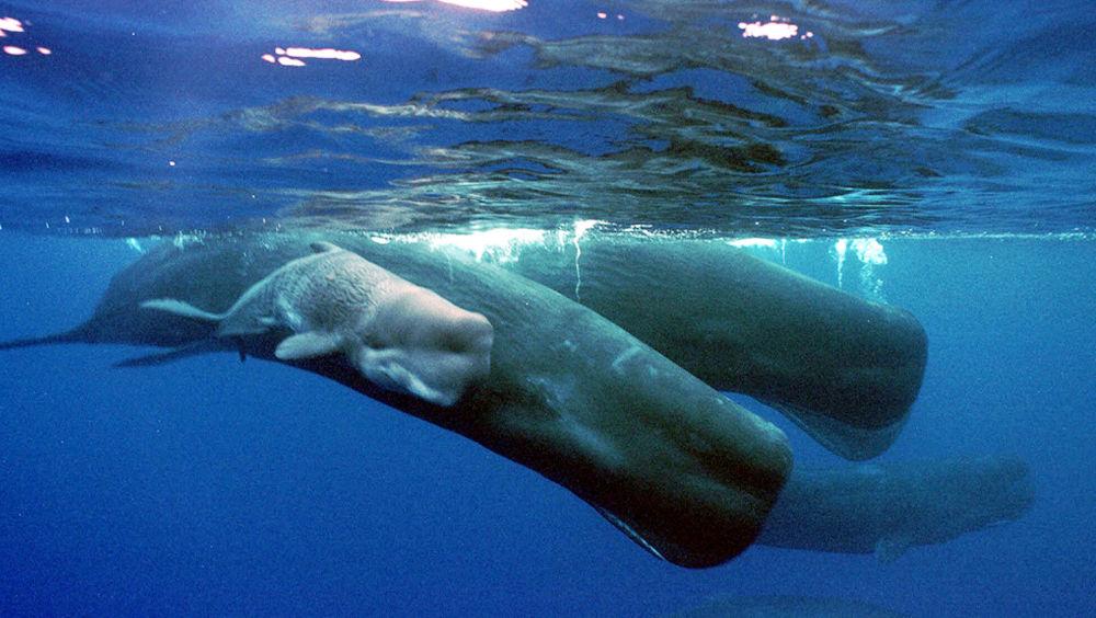 抹香鯨母子