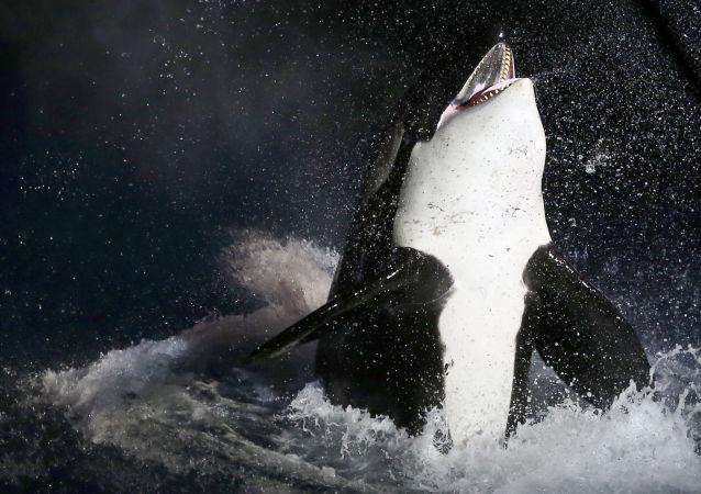 俄检察院调查绿色和平组织有关滨海边疆区准备向中国出售虎鲸的消息