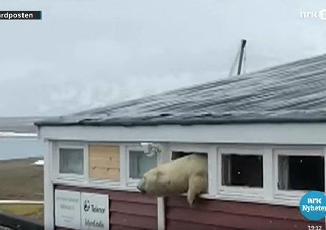 偷吃巧克力的挪威北極熊被卡在酒店窗口
