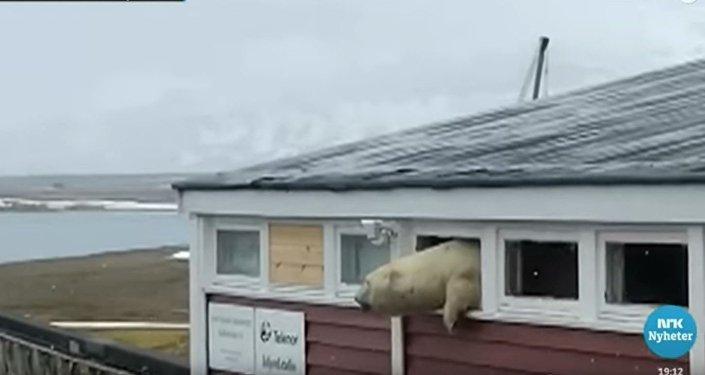 偷吃巧克力的挪威北极熊被卡在酒店窗口