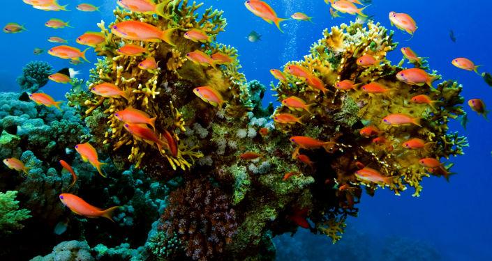 科學家:現代珊瑚與恐龍同齡
