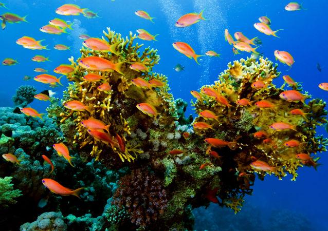 科学家:现代珊瑚与恐龙同龄