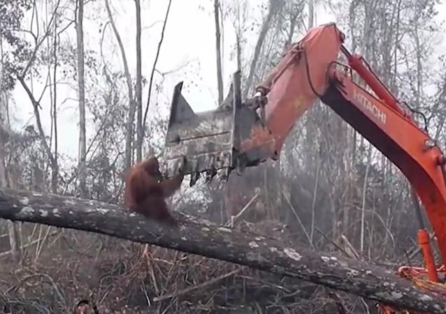 視頻拍到猩猩為保護家園試圖阻止挖掘機伐林