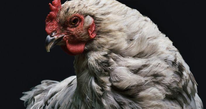 尼日利亞球迷曾打算帶著活雞到加里寧格勒看世界杯