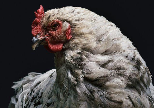 泽西岛岛民的生活被野鸡搅得一团糟