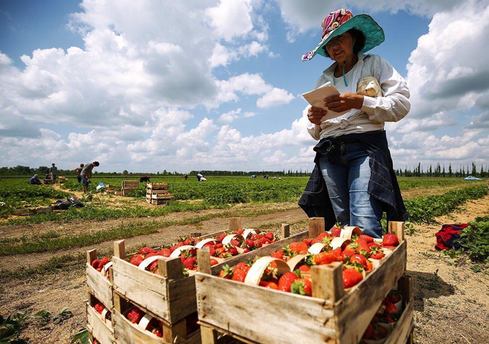 在繁忙的草莓大地上