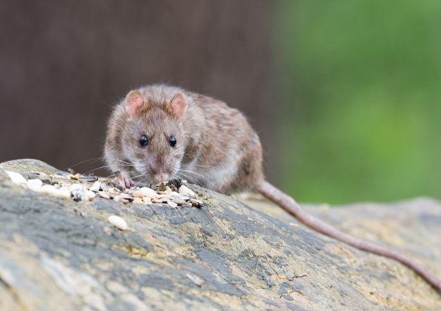 """台湾一火锅店把一只死老鼠""""送""""给食客"""