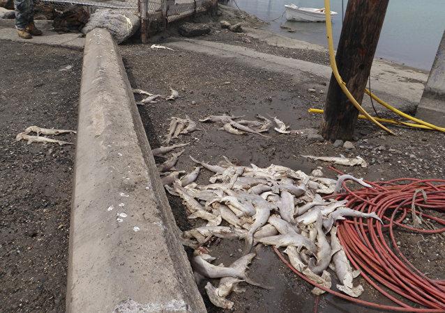 上百隻幼鯊橫屍夏威夷海灘