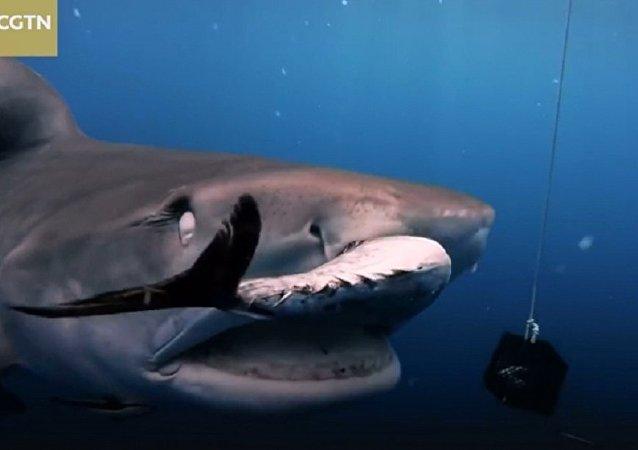 Дайверу во Флориде удалось заглянуть в пасть тигровой акуле