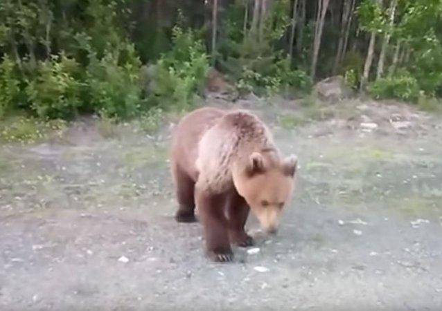 俄卡累利阿居民马路上遇熊 尝试用香蕉喂熊