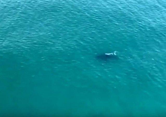 澳大利亚一头罕见的白化座头鲸闯入视频