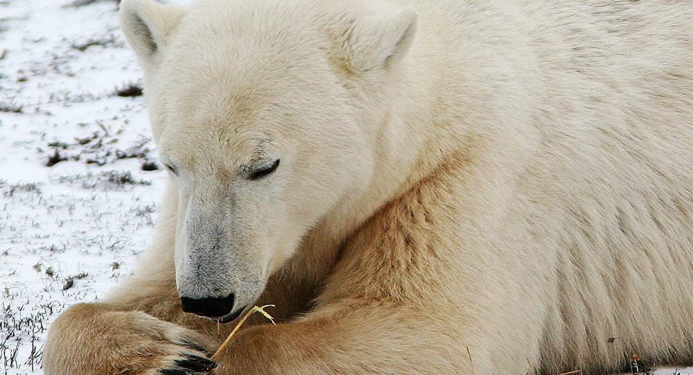 加拿大北极熊伤人致死 为18年来首次