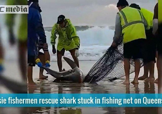 渔民抓住误捕的鲨鱼尾巴将其拖进大海