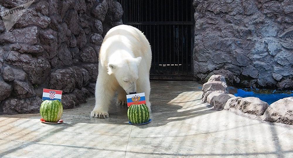 克拉斯諾亞爾斯克動植物園的白熊阿芙羅拉預測俄羅斯隊勝利