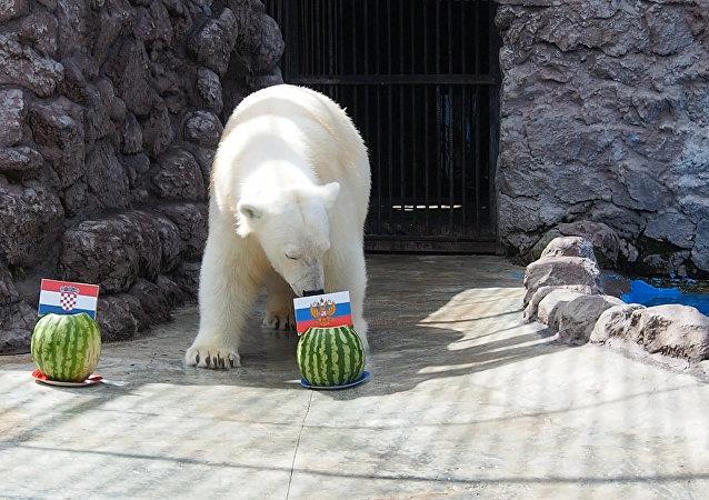克拉斯诺亚尔斯克动植物园的白熊阿芙罗拉预测俄罗斯队胜利