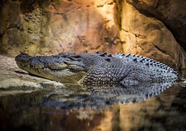 """媒体:澳大利亚60公斤大鳄鱼""""逃亡""""8年终落网"""