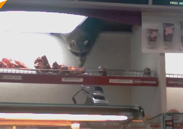 小浣熊當著顧客的面偷甜甜圈