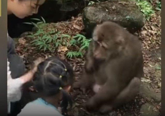 忘恩负义的猴子推到为其喂食的女孩