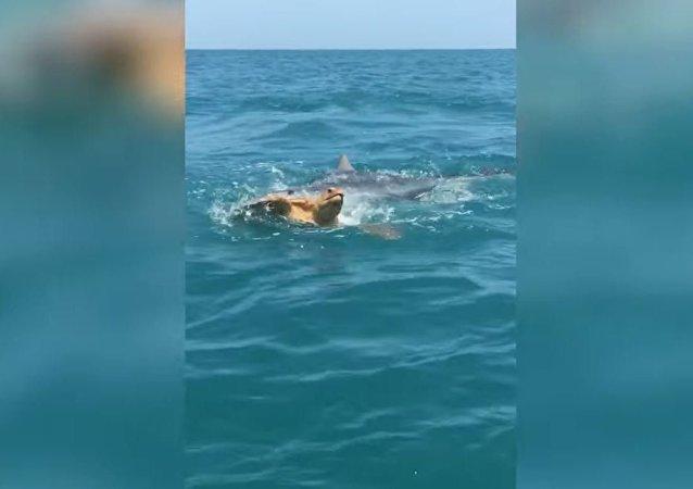虎鲨在游客面前撕碎乌龟