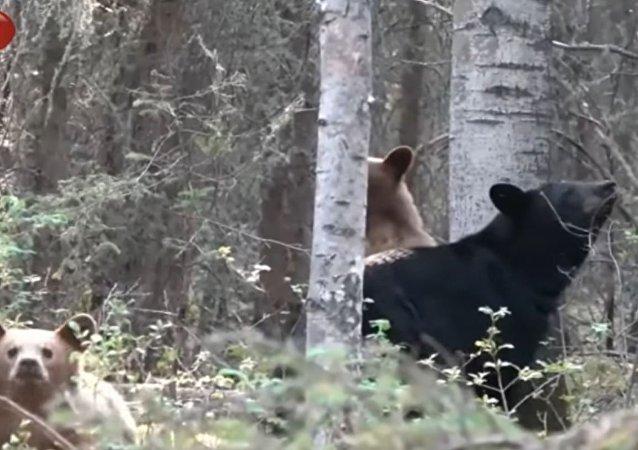 猎人偷拍熊一家闲逛险丧命