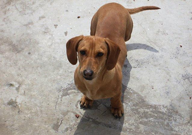 一條臘腸犬從飛機上掉下後在沙漠中存活了六天