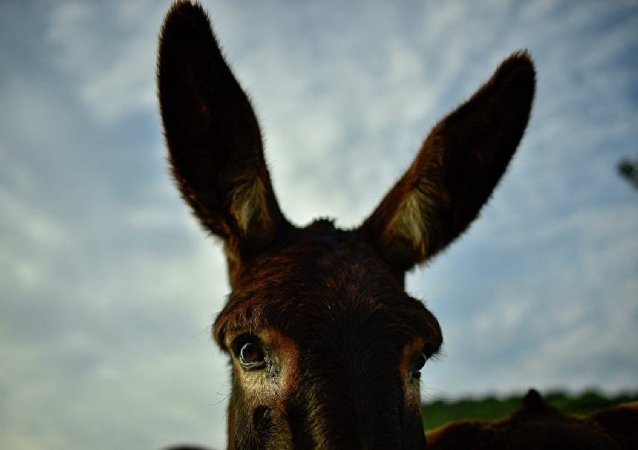 英国诞生斑马和驴的种间杂种
