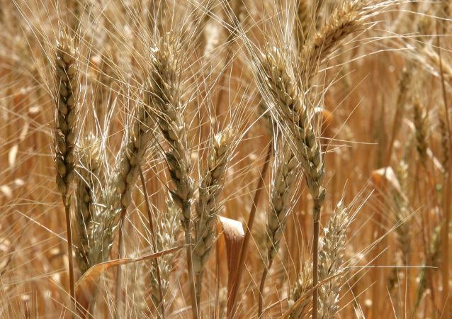 俄副總理:俄政府審議加強國家在糧食市場存在的議題