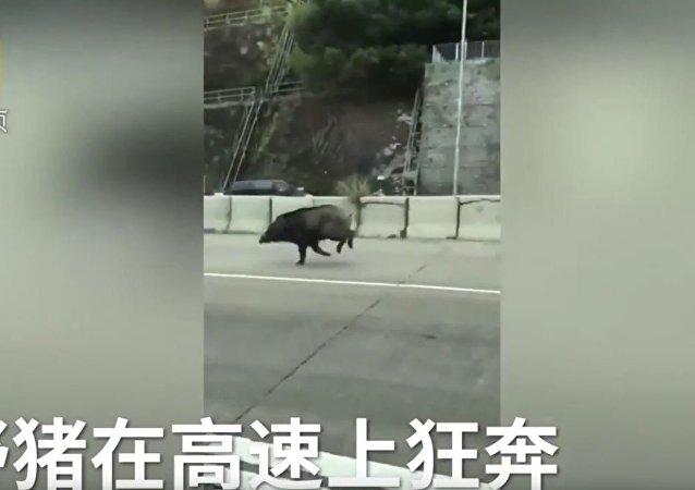 谁知道野猪也是跑步健将?
