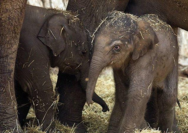 缅甸政府为纪念建交70周年向俄赠送3头亚洲象