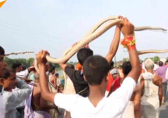 印度蛇类游行 印度和尼泊尔举行了非同一般的节庆活动
