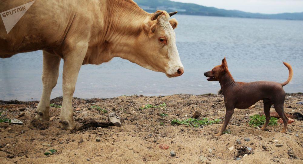 瑞典允许奶牛进入裸体浴场