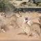 攝影師拍下四隻公豹圍攻一隻母豹的震撼畫面