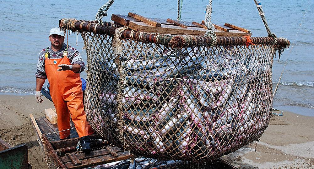 2018年渔季远东地区出产30万吨鲑鱼