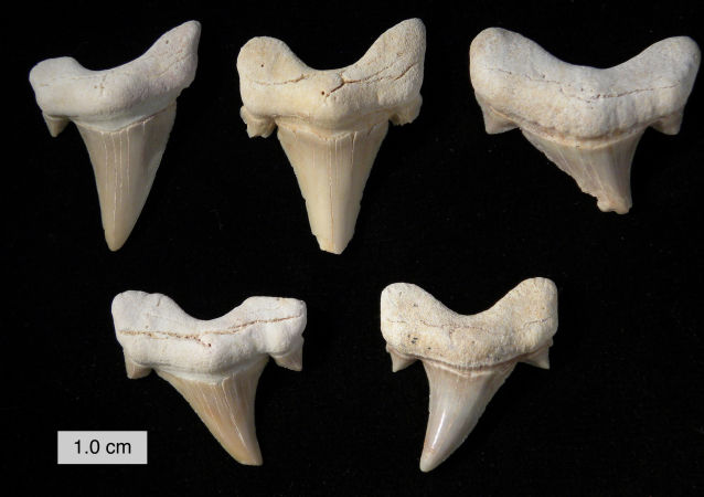 澳大利亞海灘現史前巨鯊牙齒